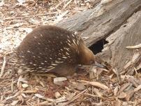 Echidna, Australia - October 2015